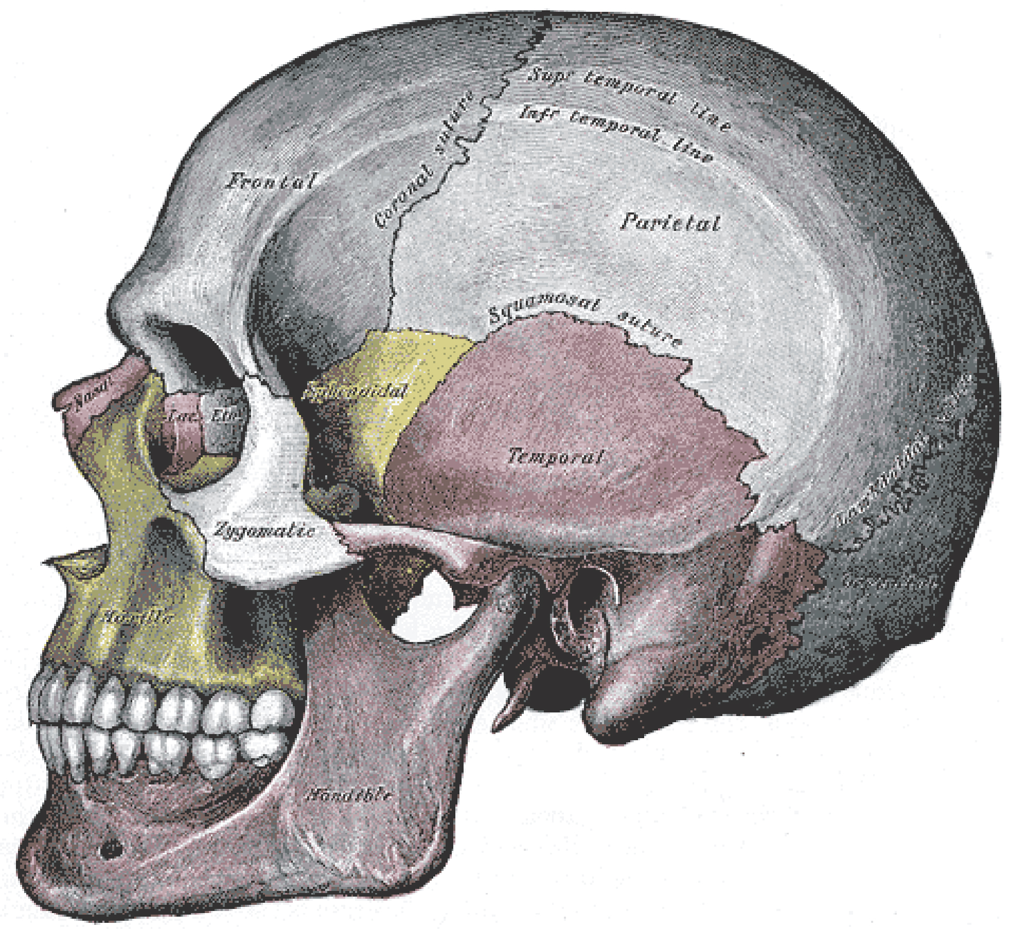 This image shows a side view of the human skull. The major parts of the cell are labeled.